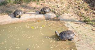 tartarugas nadam e andam ao redor de lago no Cetas Barueri