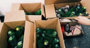 quatro caixas lotadas de aves verdes apreendidas