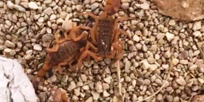escorpiões em barueri